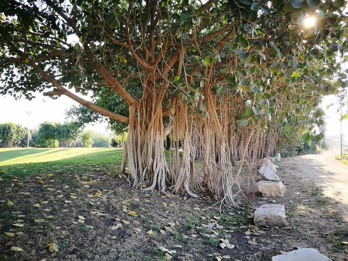 air roots of ficus / fig trees (Huawei p9) Trees Roots Air Roots Beauty In Nature Beautiful Gree Leaves Green Grass Plants Park Nature Clear Sky Summer Israel Hot Summer Day Ficus Tree Figgtree Fig Tree Tree Sky Grass