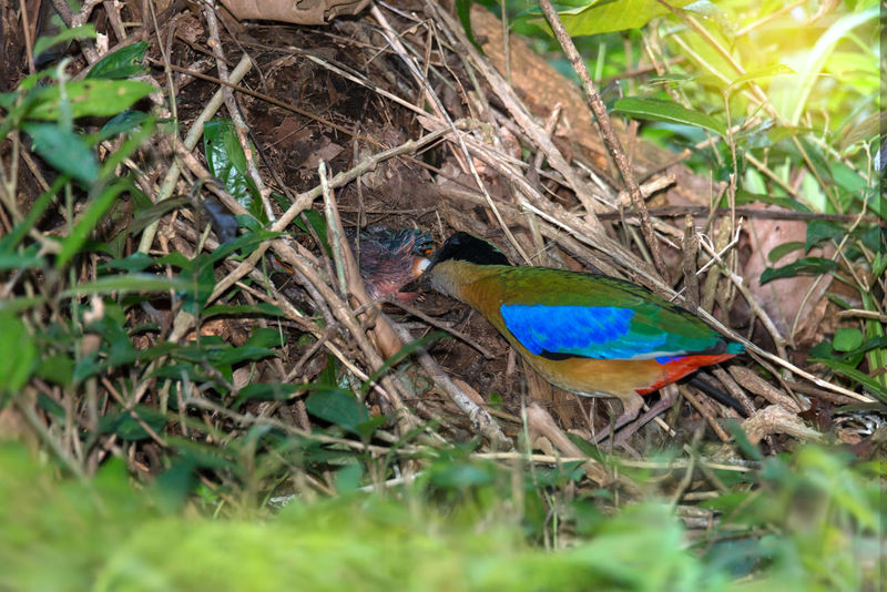 Beautiful bird keep feces from baby buttom and throwing far away from nest. Blue winged pitta ( Pitta moluccensis ),after feeding ,some chic has shit,parent has to keep nest clean to protect babies from predator. Earth Worm Animal Themes Animals In The Wild Bird Blue Winged Pitta Close-up Day Feeding Birds Field Grass Green Color Mound Nature Nest Nesting Birds No People One Animal Outdoors Plant Tropical Climate
