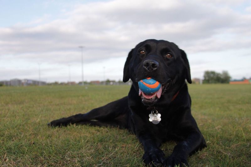 Labrador retriever carrying ball in mouth while relaxing on field against sky