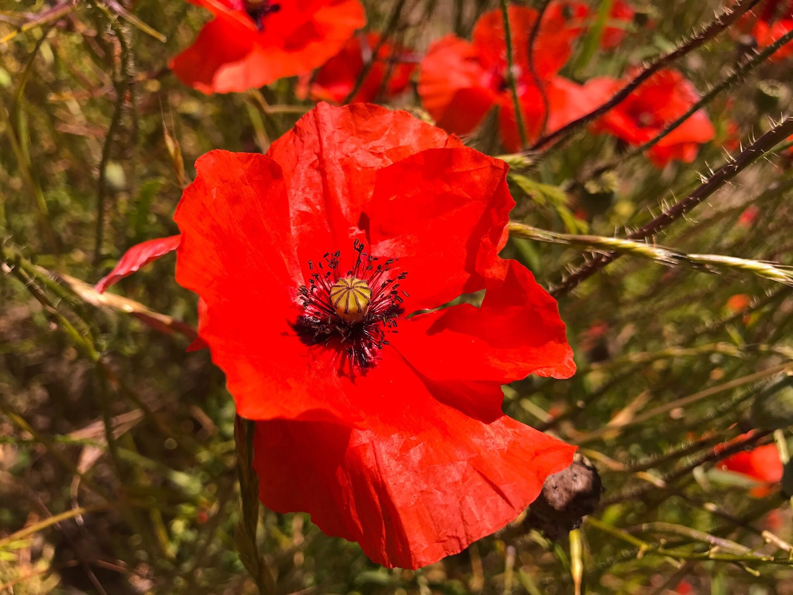 flower, red, petal, nature, growth, beauty in nature, insect, flower head, freshness, plant, fragility, no people, outdoors, blooming, bee, animals in the wild, animal themes, one animal, poppy, day, pollination, close-up, hibiscus