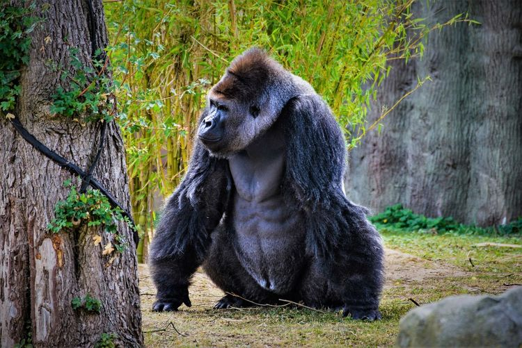 Animal Photography Animal Themes Animal Wildlife Animals In The Wild Ape Close-up Day Gorilla Grass Mammal Monkey Nature Nikonphotography No People One Animal Outdoors Sitting Tree Tree Trunk