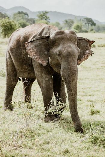 Sri Lanka Animal Animal Body Part Animal Themes Animal Trunk Animal Wildlife Animals In The Wild Asian Elephant Day Elephant Field Grass Herbivorous Land Mammal Nature No People One Animal Outdoors Plant Standing Tree Vertebrate