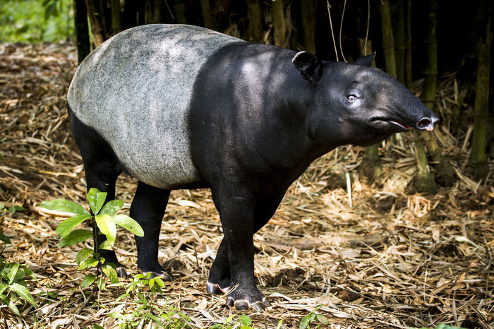 Tapirus indicus Animal Themes Animals In The Wild Beauty Beauty In Nature Black And White Animals Day Elephant Endemic Field Grass INDONESIA Mammal Nature No People Nokturnal One Animal Outdoors Side View Sumatra  Sunlight Tapirus Typical Walk Wild