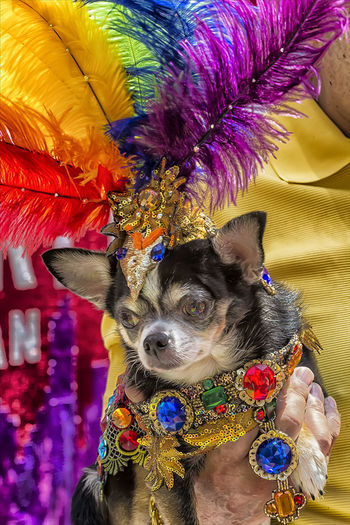 Gay Pride Parade NYC 2016 Chiahuaha Dog At Gay Pride Parade Nyc 2016 Dressed Up Dog Pet Toy Dog