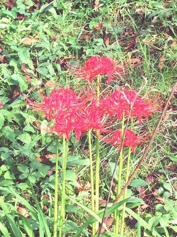 画質悪いけど秋の花、彼岸花。 Red Spider Lily Lycoris Radiata
