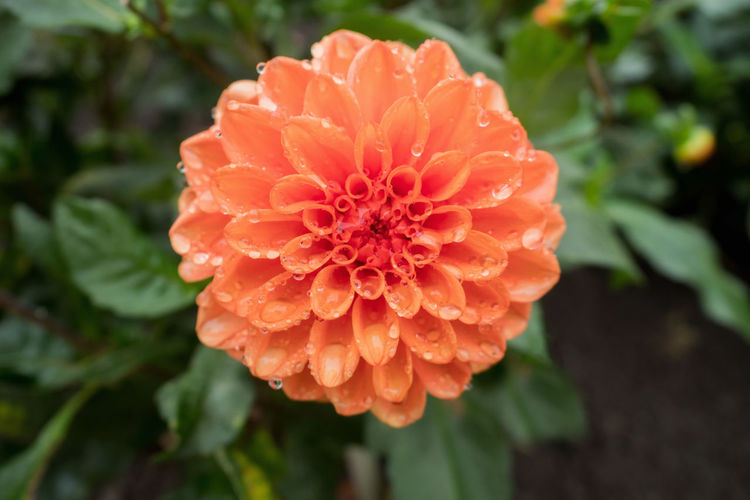 Orange flower with rain drops Beauty In Nature Blooming Close-up Day Drops Of Rain Flower Flower Head Focus On Foreground Fragility Freshness Growth Nature No People Orange Color Outdoors Petal Plant Rainy Zinnia