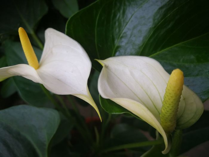 Plant Flower Flowering Plant Flower Head Inflorescence Close-up Beauty In Nature Freshness Fragility Nature Petal Growth Vulnerability  No People White Color Leaf Plant Part Pollen Stamen Outdoors Altar Lily