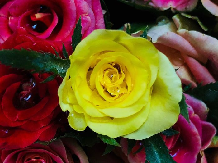 Flower Beauty In Nature Rosé Flowering Plant Inflorescence Petal Flower Head Rose - Flower Freshness Yellow