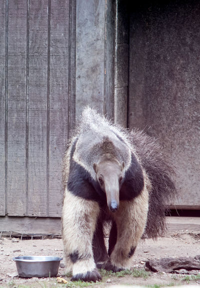 close up of a giant anteater at a zoo in Indiana USA Ant Eater Animal Wildlife Anteater Blackandwhite Captivity Day Giant Anteater Long Hair Long Neck  Mammal Mammals Nature No People Odd Animal Friendship One Animal Outdoors Standing Water Wildlife Wood - Material Zoology