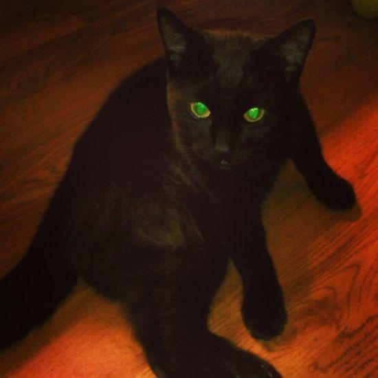 Black cat Pet Portraits