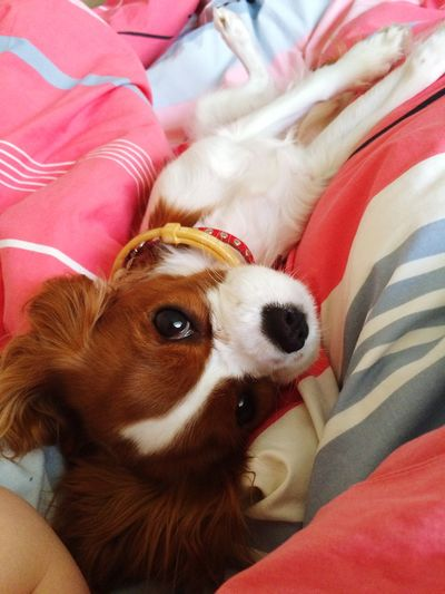 Relaxing Burgunde Cavalier King Charles Spaniel Cute Pets Relaxing Dog Cavlife Bestfriend
