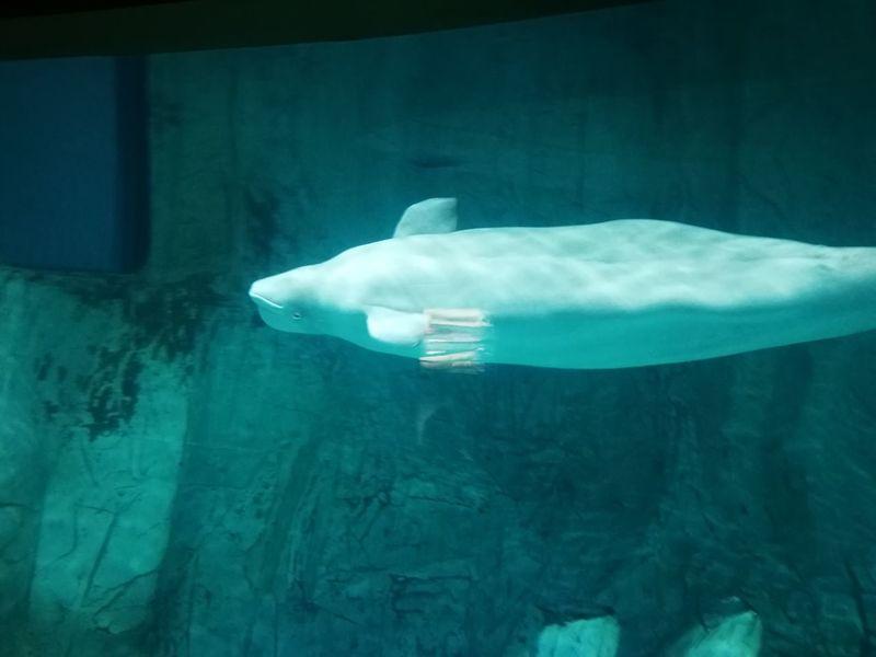 No Filter València SPAIN Animals EyeEmNewHere Beluga Whale Whale White Whale Animals Oceanografico Valencia