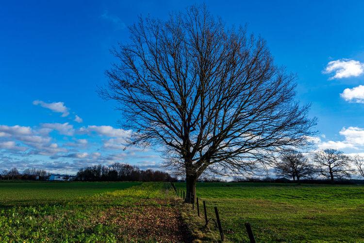 Bare tree on field against blue sky