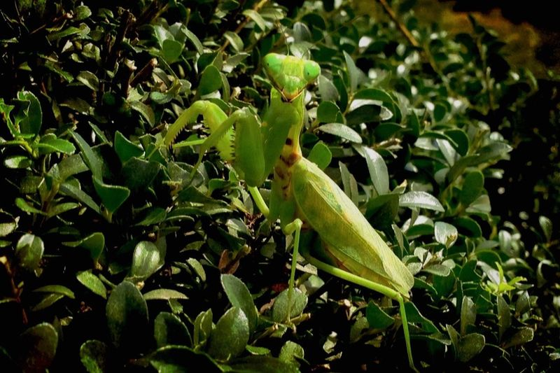 Green Green Green!  Praying Mantis よく見かける カマキリ 〰︎ ファイティングポーズ Fighting💪 Pose 昆虫最強の狩人ね👽