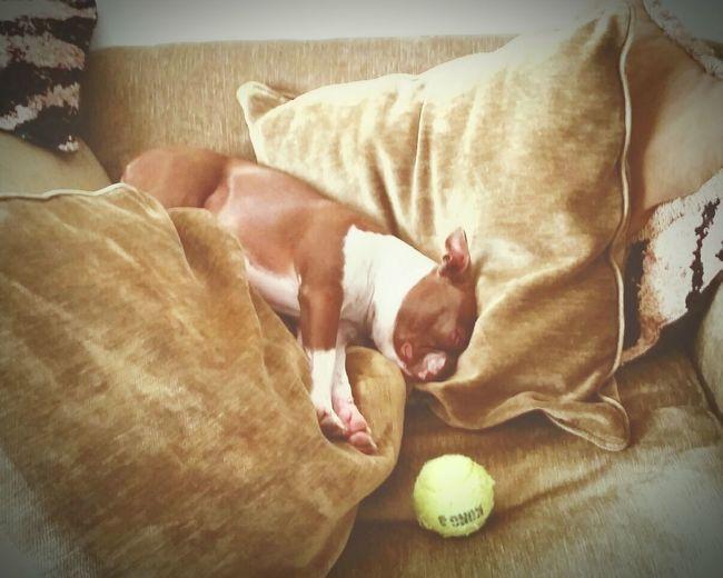 Mojo!❤️ I Love My Boston Terrier I Love My Dog❤ Boston Terrier Napping Lazy Day