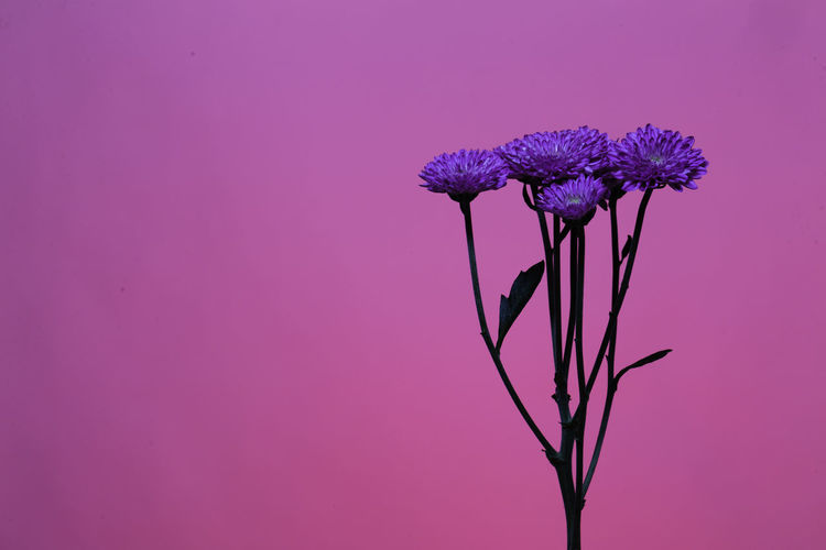 Close-Up Of Purple Flowers Against Pink Background