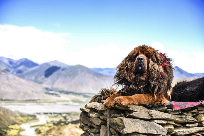 the old tibetan mastiff at mountain Animal Themes Close-up Day Dog Domestic Animals Mammal Monkey Mountain Mountain Range Nature No People One Animal Outdoor Photography Outdoors Pets Portrait Sky Tibet Tibetan Mastiff