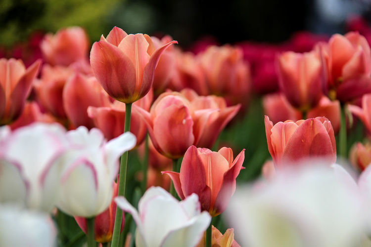 Blooming tulips Blurred Background Tulipfestival Ottawainbloom Pink White Coral Green Flower Peony  Pink Color Close-up Plant Tulip Plant Life Blossom Spring In Bloom Botanical