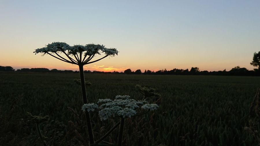 Cow Parsley English Countryside Chichester Harbour Flower Sunset Rural Scene Horizon Silhouette Backgrounds Field Springtime Blue Atmospheric Mood Wildflower Flower Head Plant Life Single Flower