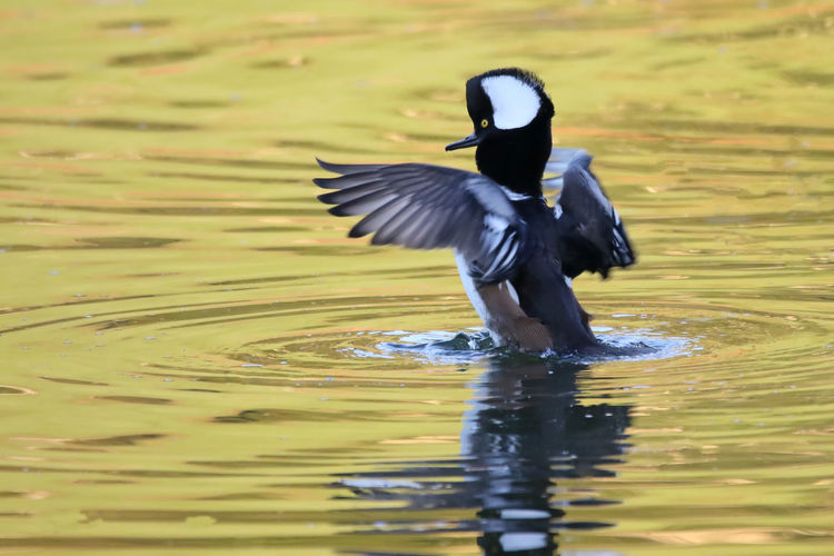 Hooded Merganser Animal Themes Animal Wing Animals In The Wild Beak Beauty In Nature Bird EyeEm Nature Lover Flapping Flying Hooded Merganser Lake Nature Outdoors Reflection Rippled Scenics Side View Spread Wings Swimming Tranquil Scene Tranquility Water Water Bird Waterfront Wildlife