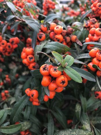 Orange Color Food And Drink Fruit Growth Rowanberry Outdoors Focus On Foreground Day Freshness Nature Leaf Green Color No People Tree Food Beauty In Nature Healthy Eating Close-up