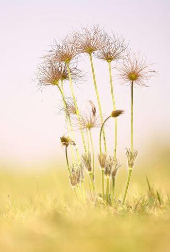 Beauty In Nature Close-up Day Field Flower Flower Head Flowering Plant Focus On Foreground Fragility Freshness Growth Land Nature No People Outdoors Plant Plant Stem Selective Focus Sky Softness Springtime Tranquility Vulnerability  Yellow
