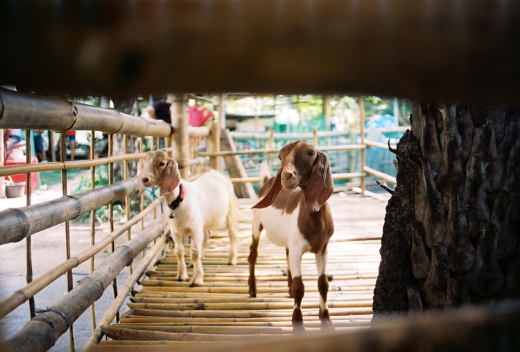 Kid goats in bamboo cage
