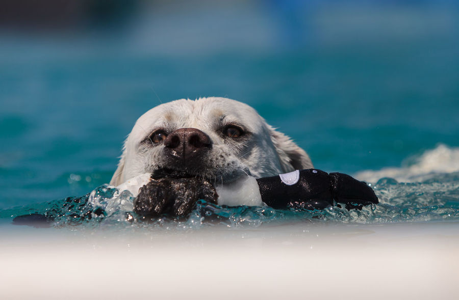 Yellow Labrador retriever swims with a toy and plays in a pool in summer. Close-up Day Dog Fetch Labrador Retriever Mammal Nature No People One Animal Outdoors Plant Portrait Summer Swimming Swimming Water Water Reflections
