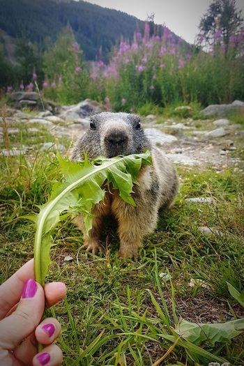 Human Hand Outdoors Nature Mammal Saasfee Saas Fee Switzerland Animal Travel Destinations Nature Marmot Alps Swiss Nailpolish
