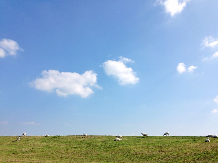 Grass Blue Sky Landscape Green Color Leisure Activity Tranquil Scene Nature Outdoors Beauty In Nature Scenics Sheep Germany Northsea Schleswig-Holstein Clouds And Sky Animals Dike Peaceful Moment Dockkoog Husum