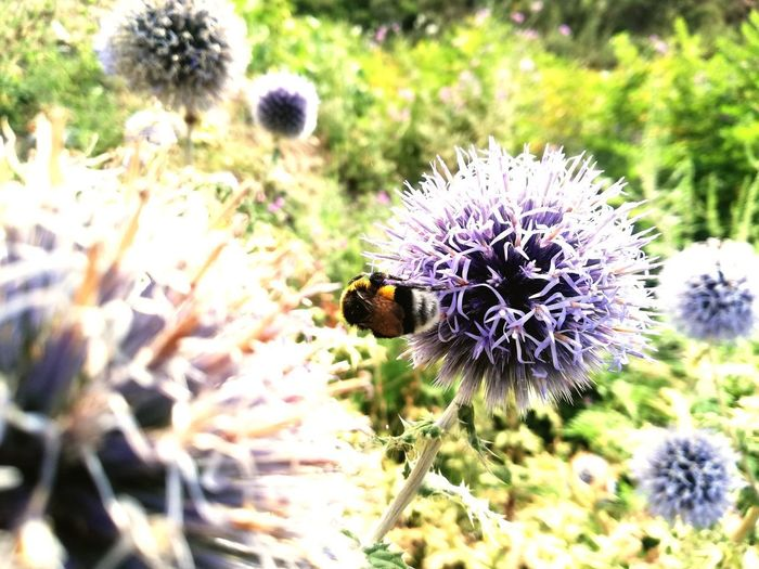 Flower Head Flower Bee Insect Purple Thistle Close-up Animal Themes Plant Bumblebee Pollination Butterfly - Insect