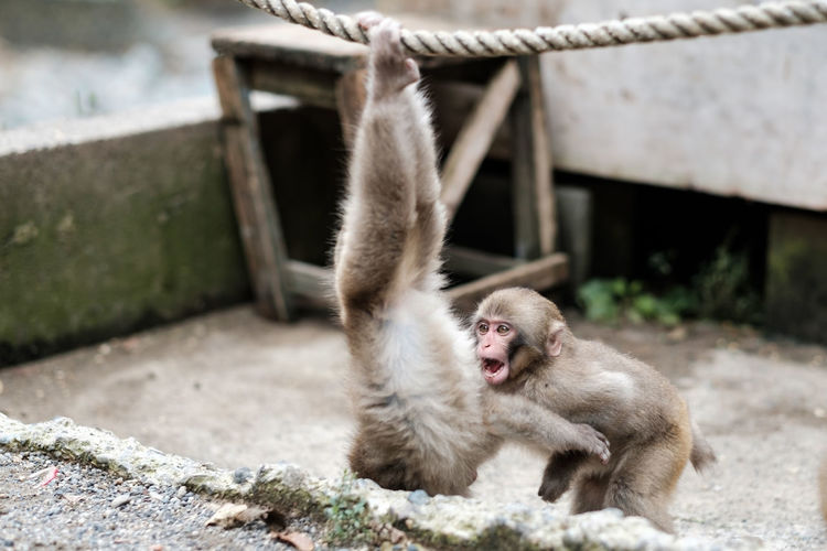 Puppy monkeys are playing loudly in an improvised playground, nagano, japan.