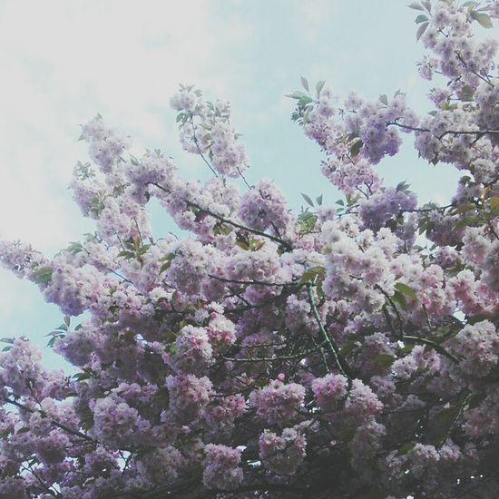 Hello World Taking Photos Enjoying Life Amazing Day Cherry Tree Sky And Trees