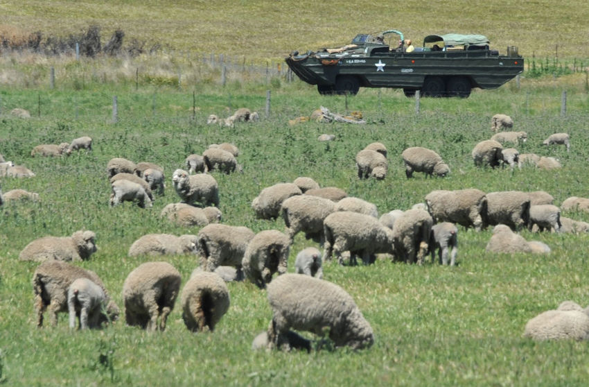 sheep Fun Militärfahrzeug Nature Photography Sheep Wool Tasmanien Agriculture Animal Animal Themes Animal Wildlife Animals In The Wild Day Domestic Animals Field Grass Grazing Group Of Animals Herbivorous Herd Land Large Group Of Animals Livestock Mammal Nature No People Outdoors Plain Plant Sattes Grün Schafe Sheep Sheep Farm Sheep Ranch Sheep🐑 Tasmania, Australia Tasmanian Landscape