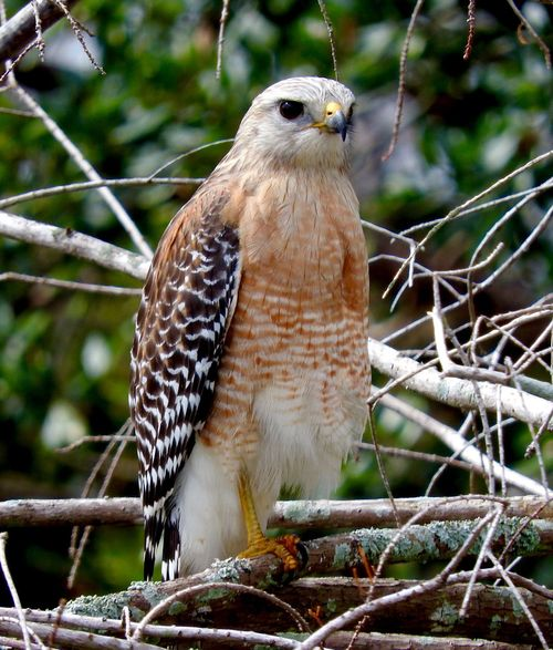 Watching out for you Hawk Green Cay Wetlands Piercing Eyes Watching Red Shouldered Hawk One Animal Animals In The Wild Animal Wildlife Animal Themes Perching