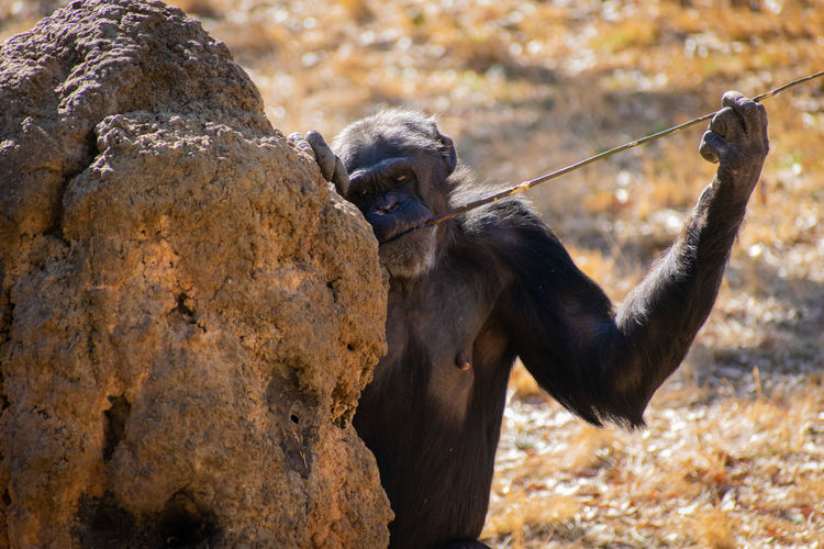 find Chimpanzee