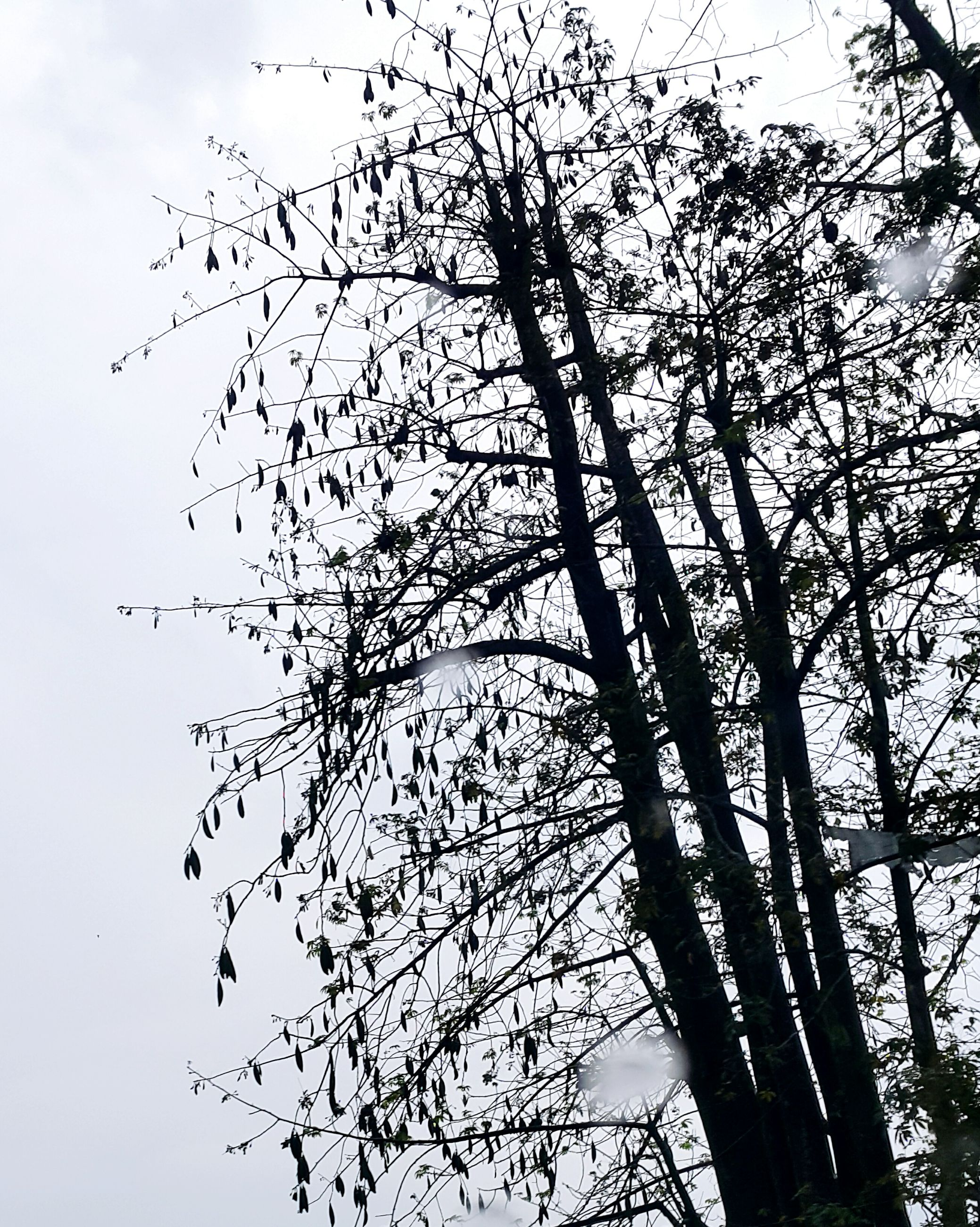 large group of animals, bird, flock of birds, flying, low angle view, nature, animal wildlife, no people, animals in the wild, sky, tree, animal themes, outdoors, day, migrating