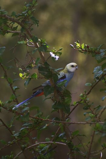 Pale-crested Rosella Rosella Parrot Rosella Australia Bird Photography Canon Photography Animal Vertebrate Animal Themes Animal Wildlife Animals In The Wild Bird Plant One Animal Tree Nature No People Perching Branch Parrot Day Plant Part Outdoors Leaf Beauty In Nature Green Color