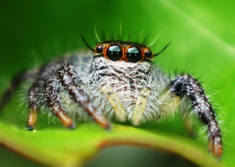I often saw a photo of this kind of jumping spider from other countries and never thought that we also have it here in the Philippines until I saw it myself and was able to photographed it. Eyeem Market Fresh On Market July 2016 Macroporn Macroshot Macroclique Macro_collection Macro Macro Photography Macroworld_tr Macro Nature Macrogardener Macro Beauty Macro Insects Jumping Spider Nature
