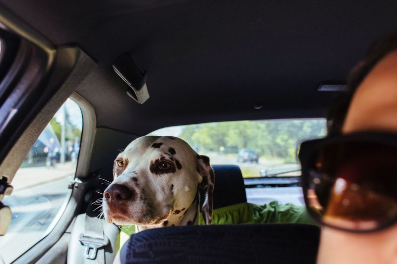 Cropped Image Of Person With Dalmatian Traveling In Car