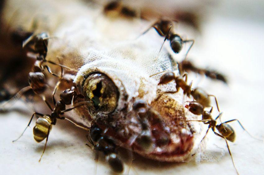 Life And Death on my lounge room floor Nikon D5100  EyeEm Nature Lover Eye Macro Photography Ants Close Up Lizard