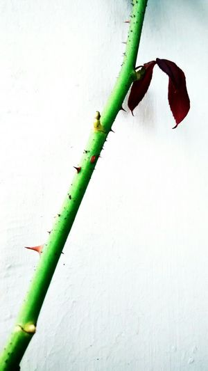 Stem Green Rose Plant Thorns