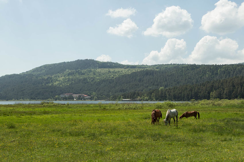 The scenic beauty of Lake Abant with horses grazing in the early morning. Calm, Serene, Tranquil, Relaxed, Grass Graze, Eat, Feeding, Grass, Horse, Pony, Colt, Animal, Animals, Mane, Mammal Image, Mirror , Reflection Mountains, Hills, Nature, Lake, Water, Trees, Grass, Outdoors Pond, Pool, Tarn, Reservoir, Slough, Lagoon, Water, Waterhole, Watering Hole, Inland Sea Scenic, Picturesque, Pretty, Pleasing, Attractive, Lovely, Beautiful, Charming, Sun, Cloud_collection, Clouds, Sunset_collection, Skyporn Swamp, Marshland, Bog, Peat Bog, Muskeg, Swampland, Morass, Mire, Moor