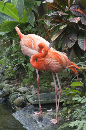 Two Caribbean Flamingos – Phoenicopterus ruber Animal Themes Aquatic Beauty In Nature Bird Caribbean Caribbean Flamingos Close-up Coral Colored Exotic Feather  Flamingo Flamingo Full Length Nature No People Pair Phoenicopterus Ruber Pink Pink Color Pond Portrait Tropical Tropical Climate Two Animals Water