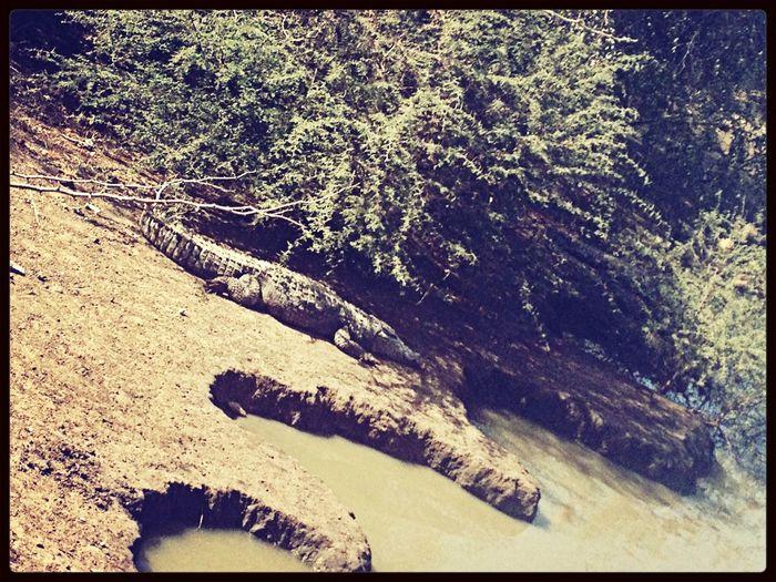 Animal Nature Crocodile