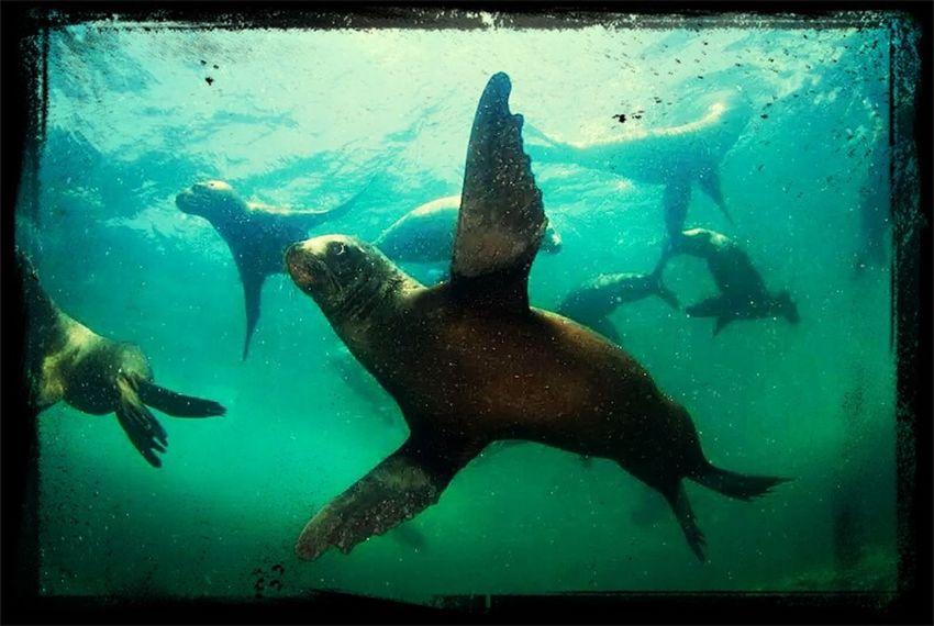 Lobos marinos ?www.oceana.org Taking Photos Underwater Photografy Oceanachile Lobosmarinos
