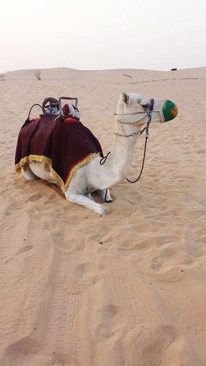Sand Desert Sand Dune Chameau Dubaidesertsafari