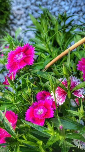 Flower Plant Nature Growth Green Color Beauty In Nature Pink Color Purple No People Day Leaf Petal Freshness Fragility Outdoors Flower Head Close-up Blooming Water