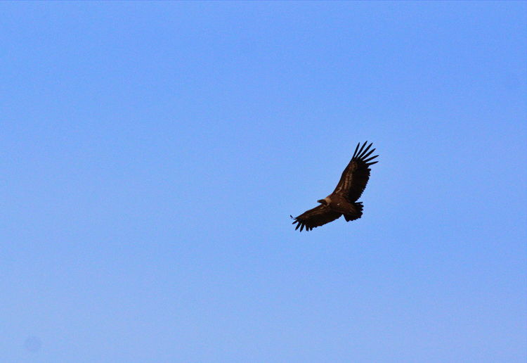 Animal Themes Animal Wildlife Animals In The Wild Beauty In Nature Bird Bird Of Prey Blue Clear Sky Copy Space Day Flying Low Angle View Mid-air Nature No People One Animal Outdoors Spread Wings
