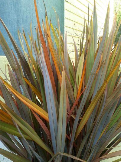 Phormium New Zealand Flax Blue Wall Soothing EyeEm Best Shots Pastel Power